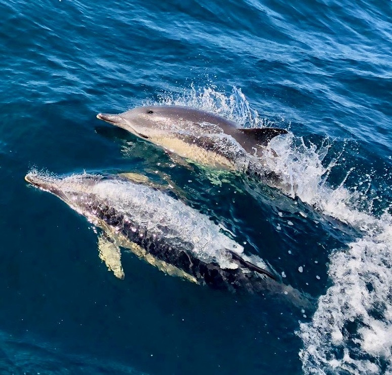 Whilst racing, crews are treated to some spectacular marine life and Pascal Bakker on board the Dutch J/122 Junique Raymarine Sailing Team captured these wonderful dolphins breaching in the bow of the boat © Pascal Bakker